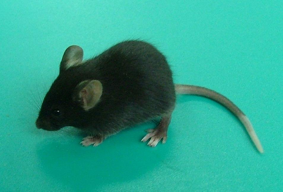 SPF C57BL/6 mice