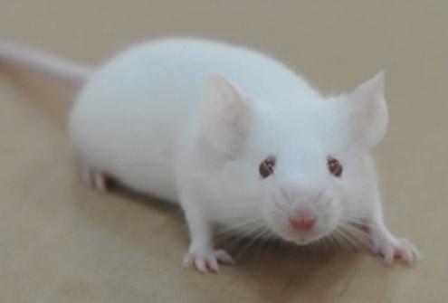 SPF ICR mice